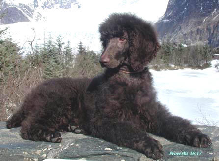 Choco Poodle